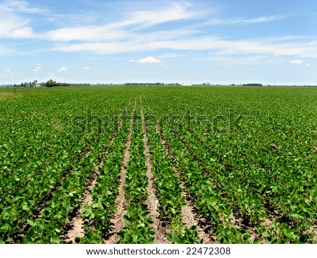 Field with intensive farming of soy bean. Location: Cañada de Gomez, province of Santa Fe, Argentina - stock photo