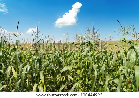 field with maize under blue sky and clouds