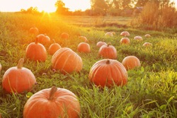 field with orange pumpkins at sunset