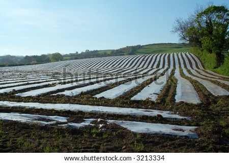 Field with polythene sheets to extend the growing season and protect crops from frost