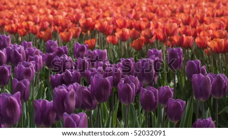 Field with red and purple tulips