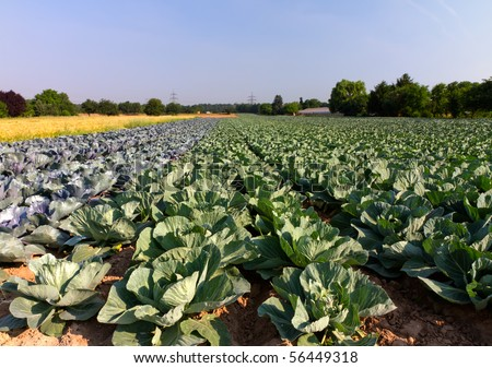Field with Red and White Cabbage (lat. Brassica oleracea) Stok fotoğraf ©