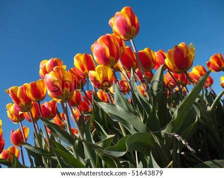 Field with red orange tulips