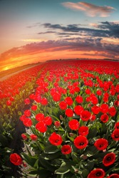 field with red tulips in the netherlands.