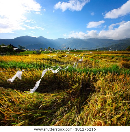 Field with ripe rice ready to crop in a valley among mountains. White ribbons is a protect against a birds. Bali, Indonesia