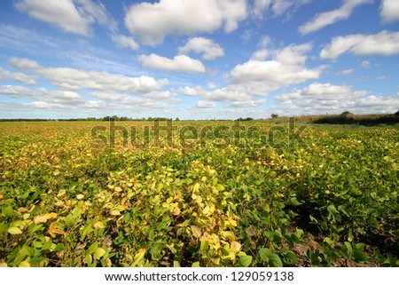 field with soy beans