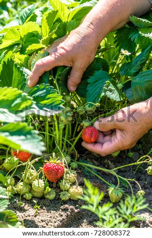 Field with strawberry harvest, hands picking strawberries, organic farming concept #728008372