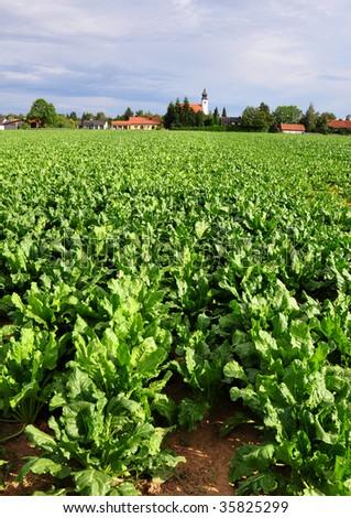 Field with sugar beet
