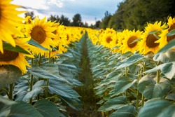 Field with sunflowers. Rows of sunflowers. Sunflower closeup. Advertising banner. Advertising sunflower seeds and oil. Rows of sunflowers.