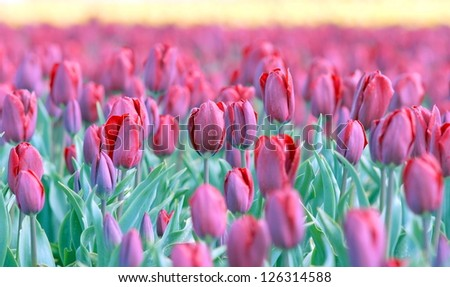 field with tulips from Holland