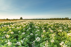Field with white flowering potato plants from low point of view