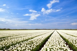 field with white tulips and blue sky, Alkmaar