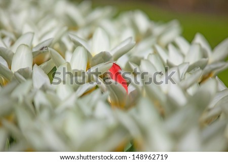 Field with white tulips and one red colored tulip and shallow depth of field.