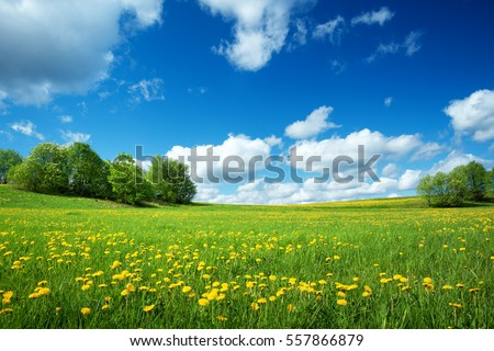 Field with yellow dandelions and blue sky #557866879
