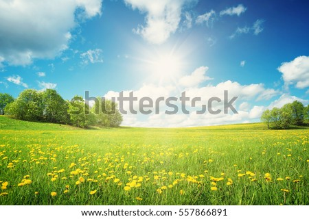 Field with yellow dandelions and blue sky #557866891