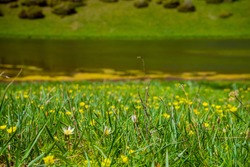 Field with yellow flowers near a mountain lake. Yellow flowers in a meadow in the mountains. An endangered species of flowers in the mountains. Green grass on brown ground.Field with flowers and grass