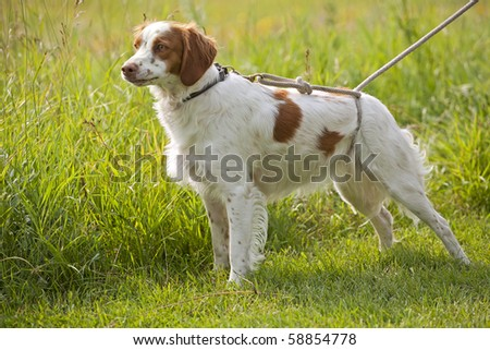 field work with brittany spaniel