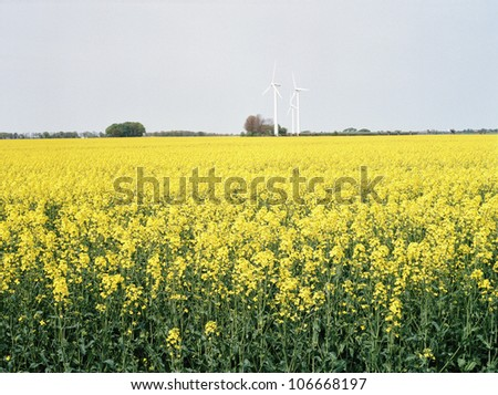 Fields of colza, Skane, Sweden.