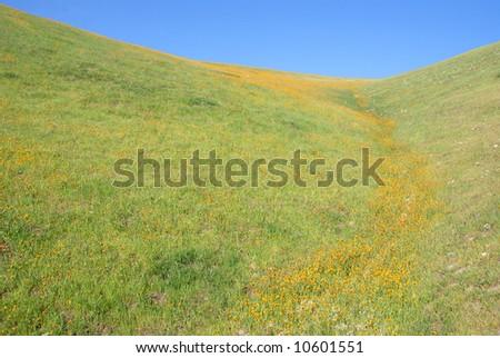 Fields of fiddleneck wildflowers signal the spring season in the Sierra Nevada foothills