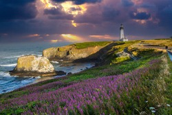 Fields of fireweed are blooming on the approach to the Yaquina Head lighthouse, just north of Newport, Oregon.