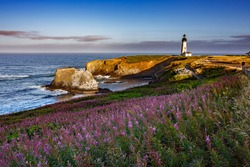 Fields of fireweed flowers are blooming on the approach to the Yaquina Head lighthouse, just north of Newport, Oregon.