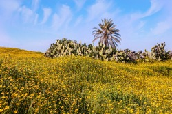 Fields of flowers in the bright southern sun. Magnificent blooming spring. Blue sky and light clouds. Lovely warm day. Spring bloom of the Negev Desert in Israel. Lonely date palm