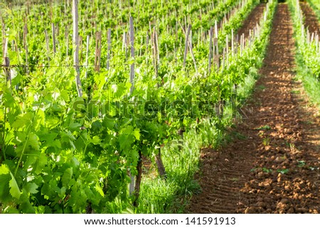 Fields of grapes in the summer, Tuscany - stock photo