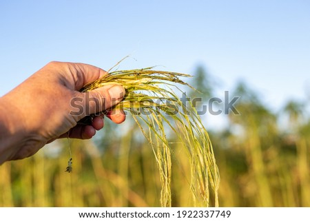 Fields of hemp being harvested for the fibre, New Zealand. A closeup of a hand showing the strong fibres found in the hemp stalks Stock photo ©