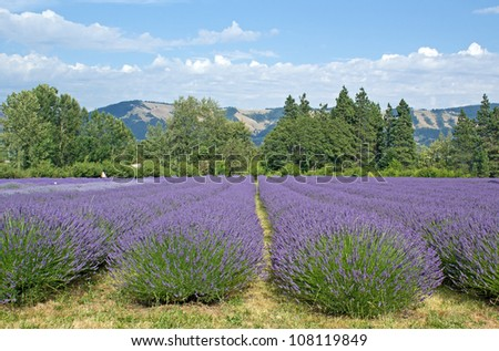 Fields of lavender flowers growing in the summer in Oregon