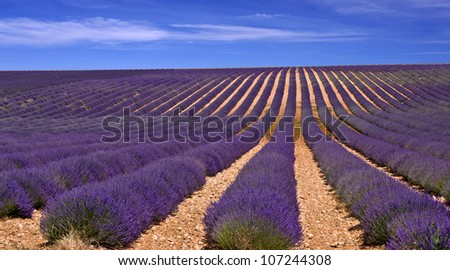 fields of lavender,Provence,France