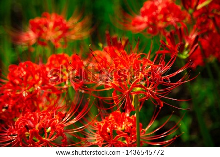 Fields of Spider Lily flowers in Kinchakuda #1436545772