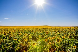 Fields of sunflowers growing in North Dakota