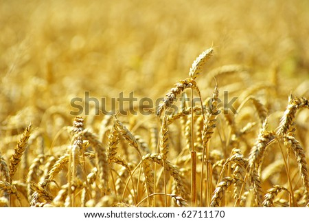 Fields of wheat #62711170