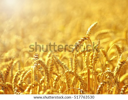 Fields of wheat at the end of summer fully ripe #517763530