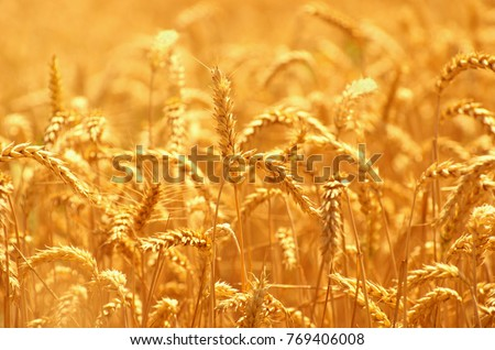 Fields of wheat at the end of summer fully ripe #769406008