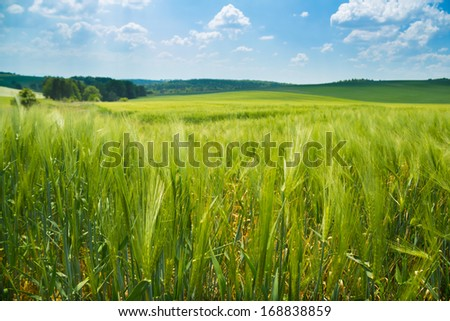 Fields of wheat fully ripe on the background of summer landscape