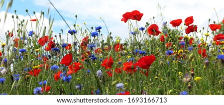 fields of wild flowers in spring: cornflowers, poppies, daisies, etc.                                Foto stock ©