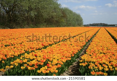 Fields of yellow tulips Dutch country by spring, Netherlands