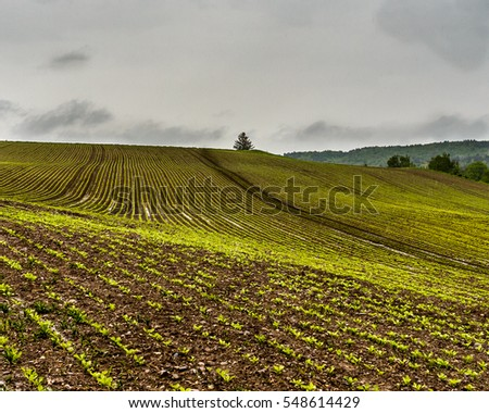 Fields of young sugar beet plants