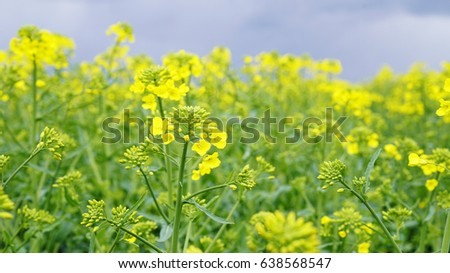 Fields with yellow and green plants blooming yellow rape farm on a fields with yellow and green plants blooming yellow rape farm on a cloudy day mightylinksfo