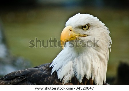 Fierce Bald Eagle Looks Back