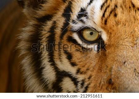 Bengal Tiger  tigersorgza