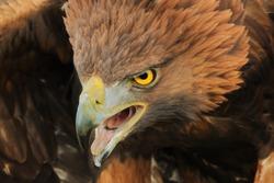 Fierce eagle. A majestic golden eagle has a rather fierce look.