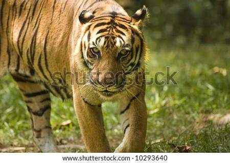 fierce looking tiger