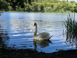 Fierce mother Swan on the Virginia Water Lake. Protecting her babies, water and world. Beautiful stunning scenery of trees and bushes. Nature at its best. Pure. No filter, no editing. 10O% organic