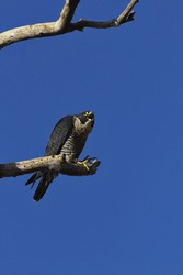 Fierce peregrine falcon screams from bare branch at top of dead tree in Sacramento National Wildlife Refuge in California