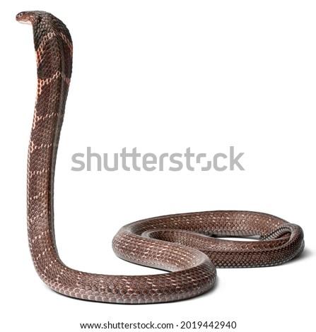 Fierce Poisonous King Cobra Ready to Attack Foto stock ©