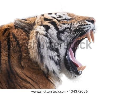 Fierce tiger #434372086