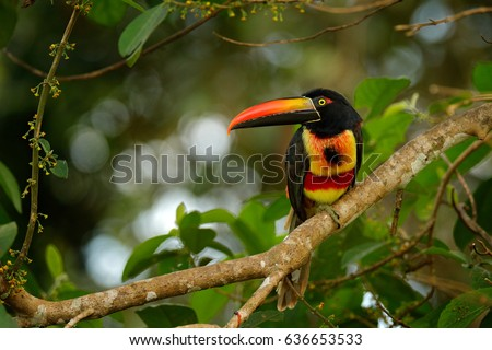 Fiery-billed Aracari, Pteroglossus frantzii, bird with big bill. Toucan sitting on the branch in the forest, Boca Tapada, Laguna de Lagarto Lodge, Costa Rica. Birdwatching travel in central America.