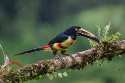 Fiery-billed Aracari - Pteroglossus frantzii is a toucan, a near-passerine bird. It breeds only on the Pacific slopes of southern Costa Rica and western Panama